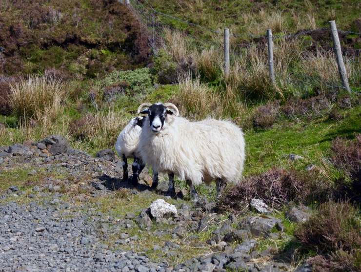 Sheep in the Isle of Skye